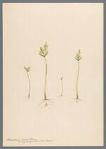 Botrychium lanceolatum var. angustisegmentum Pease and Moore