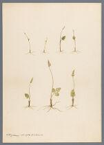Botrychium simplex E. Hitchcock