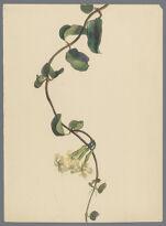 """Order Apocynaceae. Genus Echites."""