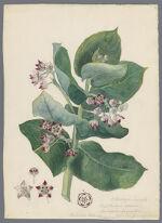 """O. Asclepiadaceae. Calotropis procera, Asclepias gigantea, advanced from Africa, Bahama Island"" Signed."