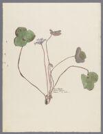 Hepatica triloba Choix, 1900 March 16