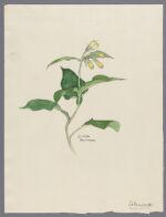 Symphytum sp., 1900 March 14