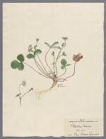 Potentilla Fraisier, 1900 March 6