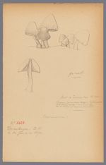 Coprinus micaceus Fr., 1890 June 14