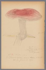 Russula [sanguinea?], 1890 June 26