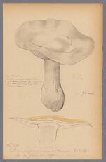 Amanita vaginata Bull. var., 1890 June 26