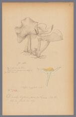 Collybia dryophila Bull., 1890 June 26