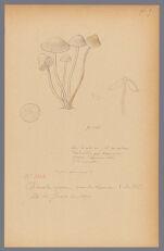 Mycena galericulata Fr., 1890 June 26