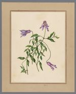 Plate 1. Clematis cylindrica