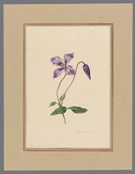 Plate 2. Clematis viticella