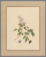 Plate 3. Epimedium grandiflorum
