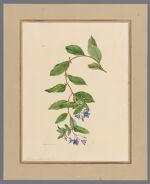 Plate 4. Sollya heterophylla