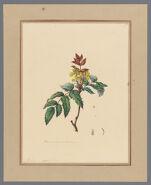 Plate 5. Mahonia aquifolium