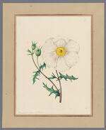 Plate 6. Argemone grandiflora