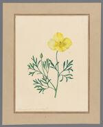 Plate 7. Hunnemannia fumariaefolia