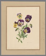 Plate 8. Viola (garden varieties) of lutea and Curtisii