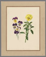Plate 9. Viola (garden varieties) of lutea and Curtisii
