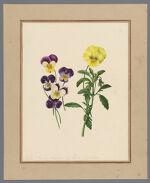 Plate 9. Viola (garden varieties) of lutea and Curtisii