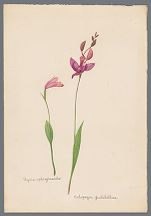 Pogonia ophioglossoides and Calopogon pulchellus