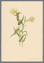 Castilleia pallida (Castilleja pallida), Kunth.
