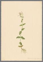 Epilobium origanifolium, Mx.