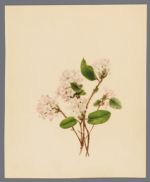 Epigaea repens (Ground laurel or May flower)
