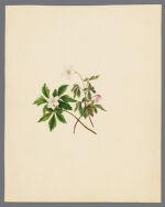 Anenome nemorosa (Wood anemone)