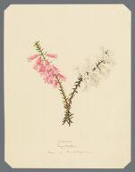Epacris hyacinthiflora, Rotea + candidissima