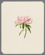 [Ericas: Kalmia latifolia] [Mountain Laurel]