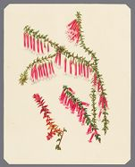 Epacris miniata; Princess Royal; Wilmoreana or Fulgens; New growth of Epacris