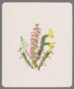 Ericas: Cavendishii, Andromedifolia, Bowieana, Perpendem Juliflora[?]