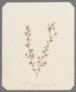 Leptos Spermun baccatum [Leptospermum baccatum]