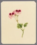 [Pelargonium, Geranium]