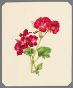 Pelargonium: Beelzebub, v. Josephine [Shillitz?] [Geranium], 1867