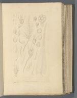 Archidium ohioense, Schimp.