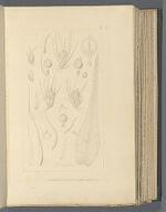 Ephemerum crassinervium, (Schwaegr.) Hampe.