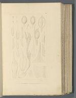 Pleuridium nervosum, (Hook) Brid.