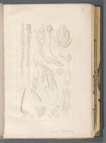 Sphag. pylaesii [Sphagnum pylaesii]