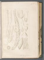 Sph. cyclophyllum [Sphagnum cyclophyllum]