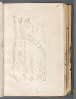 Sphag. neglectum [Sphagnum laricinum]