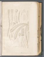 Sphag. wolfianum [Sphagnum wolfianum]