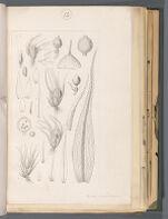 Ephem. papillosum [Ephemerum papillosum]