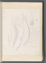 Dicranodontium [Campylopodium pusillum (Schimp.) Will.]