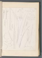 Pilopogon gracilis [Pilopogon gracilis (Hook.) Brid. ]