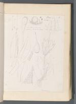 Entosthodon [Funaria longiseta (Schimp.) Broth. [Entosthodon longisetus Schimp.]]
