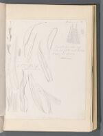 Trichostomum [Trichostomum brachidontium Bruch]