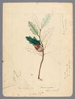 Plate 3. Rocky Mountain Oak (Quercus undulata)