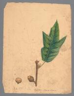 Plate 5. Lea's Oak (Quercus leana)