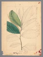 Plate 6. Dwarf Chestnut (Castanea alinifolia)