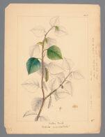 Plate 7. Western Birch (Betula occidentalis)